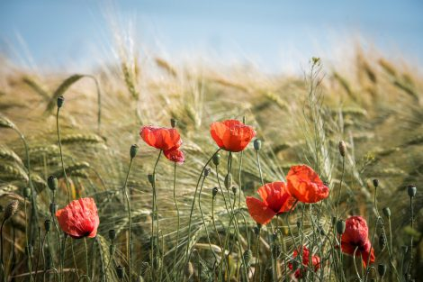 Najpowszechniejsze chwasty na polskich polach. Jak z nimi walczyć